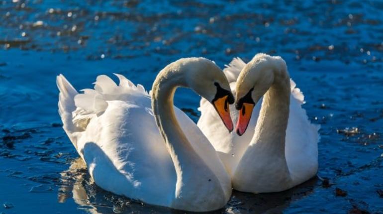 Пара лебедей, моногамия