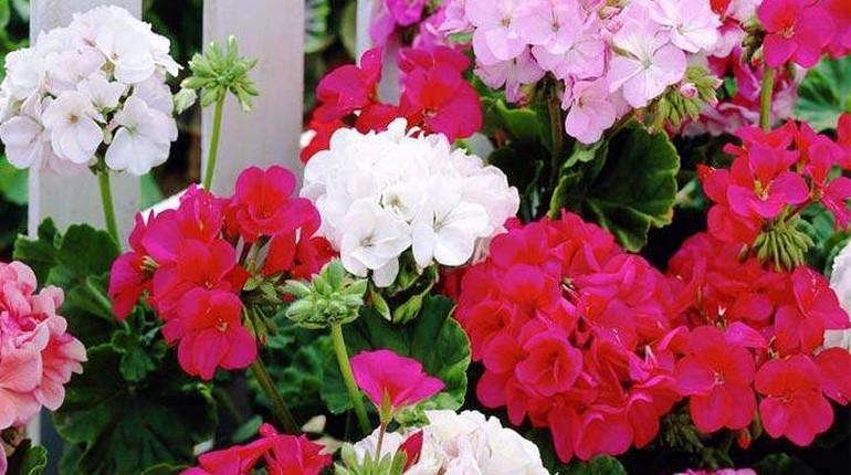 красныеи белые цветы герани, комнатные растения, цветы для декора помещений