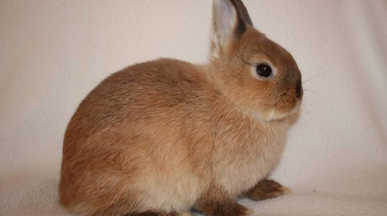 кролик рекс, маленький кролик, декоративный кролик