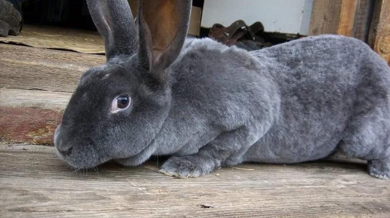 декоратикный кролик рекс, серенький домашний кролик