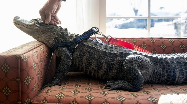 крокодил дома, крокодил на диване