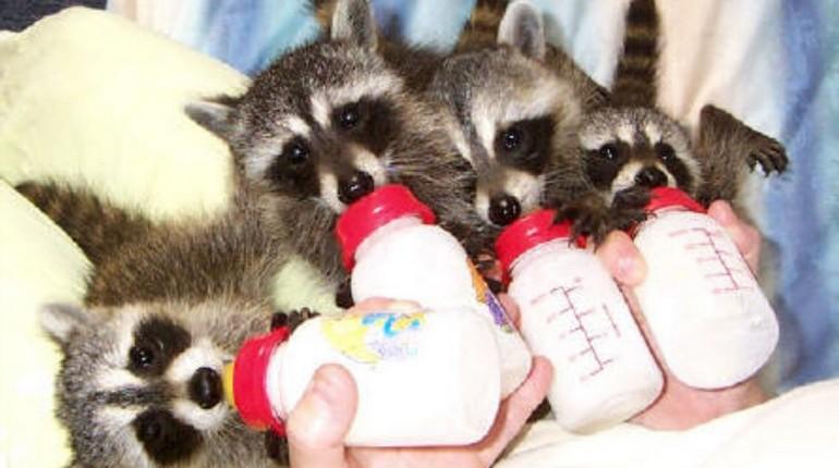 маленьких енотов кормят из бутылочек, еноты дома, кормление енотов