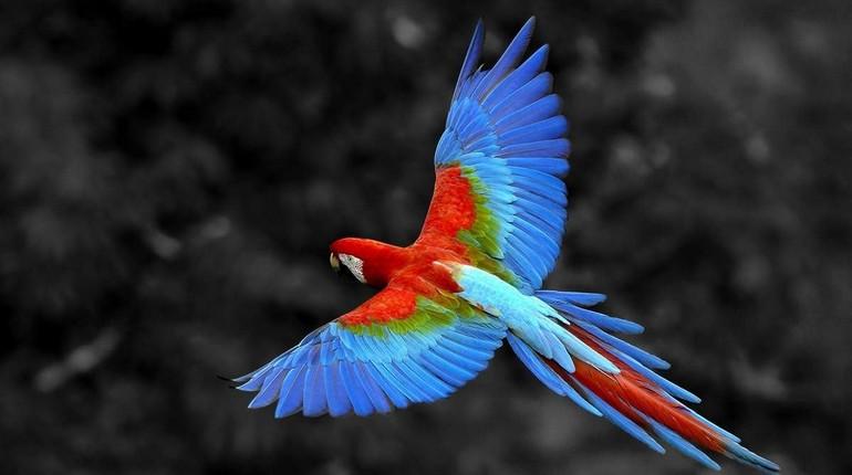 попугай ара, попугай расправил крылья, попугай синего окраса