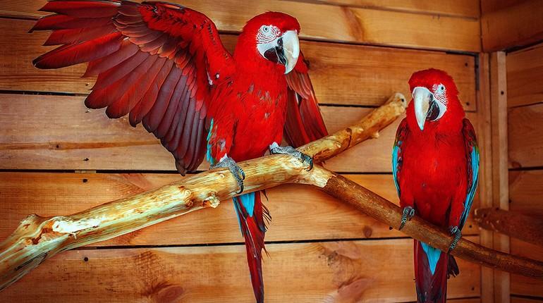 два поаугая, попугаи сидят на ветке