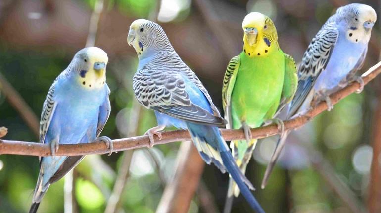 волнистые попугайчики, голубые и зеленые попугаи на ветке