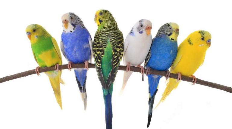 шесть попугаев разного окраса, попугаи на ветке