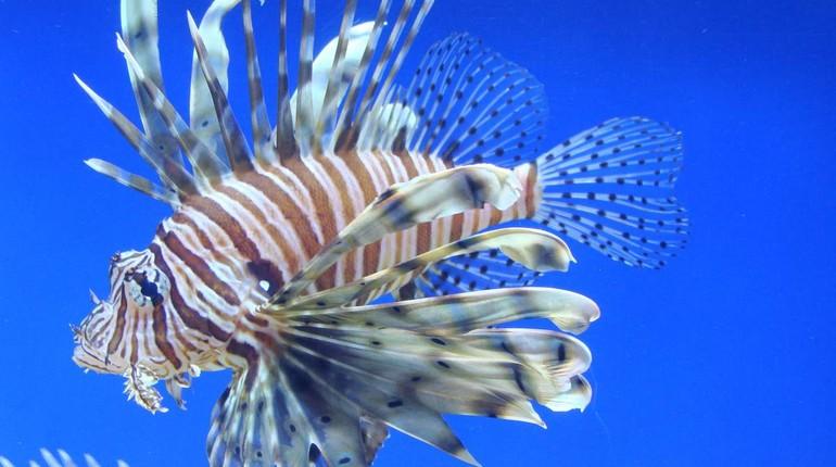 особый вид аквариумных рыбок, крылатка зебра рыбка, аквариум