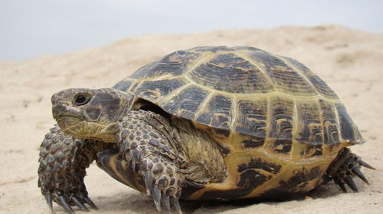 черепаха, черепаха на песке