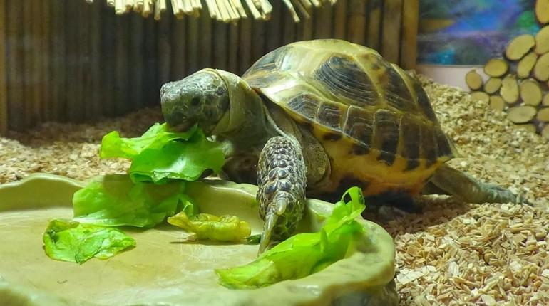 черепаха в бассейне, черепашка с листиками