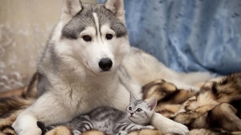 собака хаски и котенок