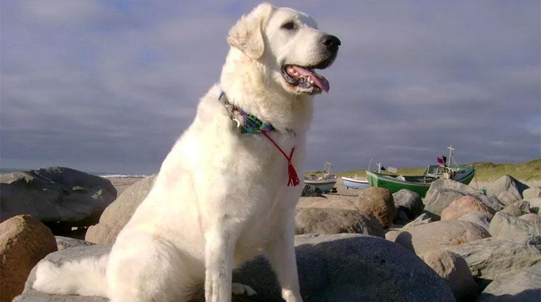 кувас порода собаки, белая собака, собака сидит возле воды