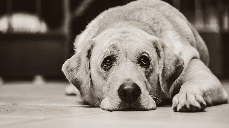 собака грустит у себя на коврике, грустная собака
