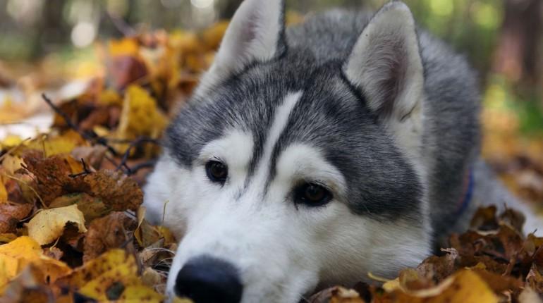 собака грустит, собака хаски, грустный взгляд собаки