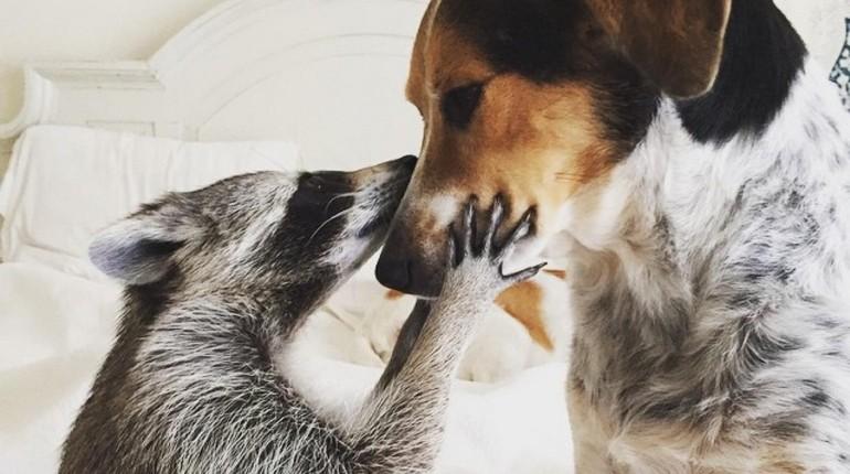 собака и енот, животные дружат, разные животные в доме