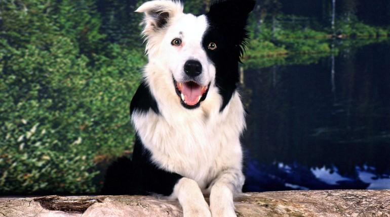 породистая собака, дружелюбный щенок