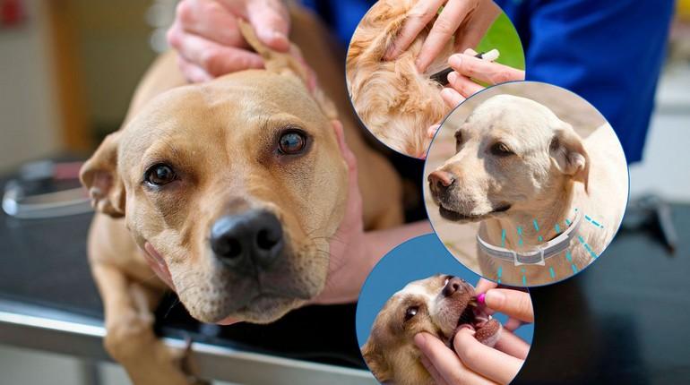 собака и клещи, проблемы с клещами у собаки