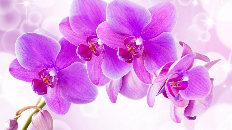 цветущая орхидея, розовые цветы орхидеи