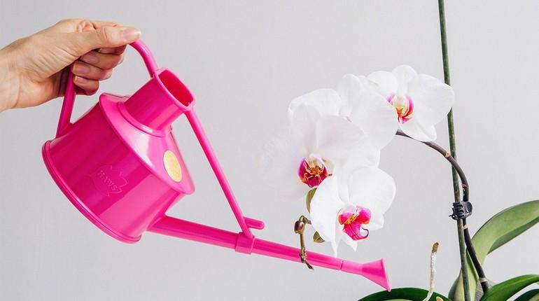 полив орхидей, белую орхидею поливают из розовой леечки
