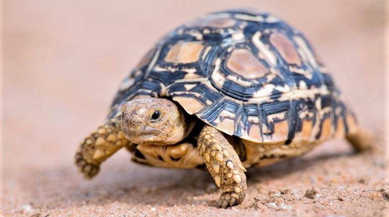 черепаха домашняя, черепашка ползет