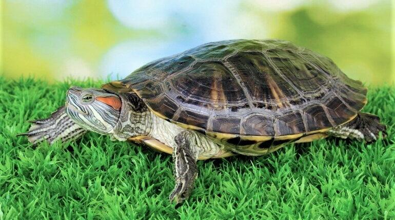 черепаха дома, черепаха и трава, красноухая черепаха