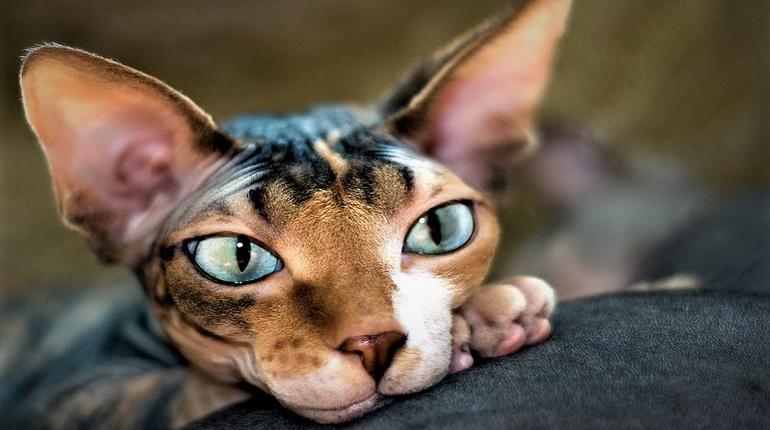сфинксы, котенок сфинкса,