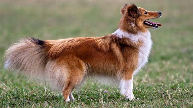 собака шетландская овчарка